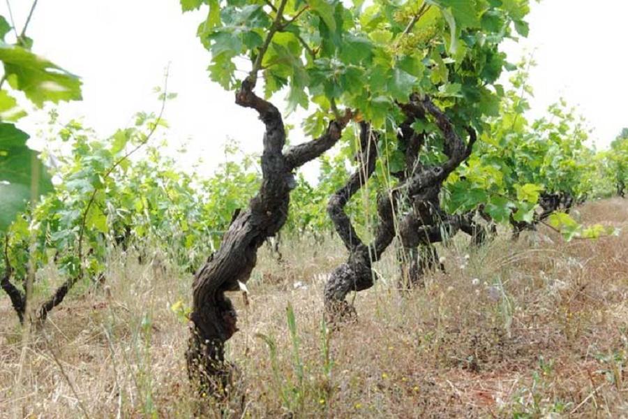 Primitivo di Manduria: 23 mln di bottiglie