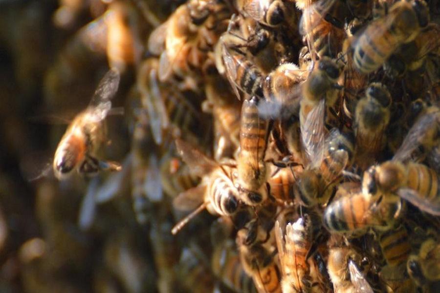 Taranto, sciame d'api su un motoveicolo delle Poste: effetti del caldo record