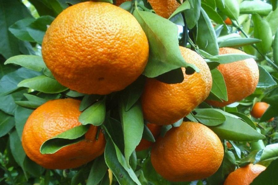 """D'AMATO (M5S): """"L'Ue affossa le clementine Igp di Taranto"""""""