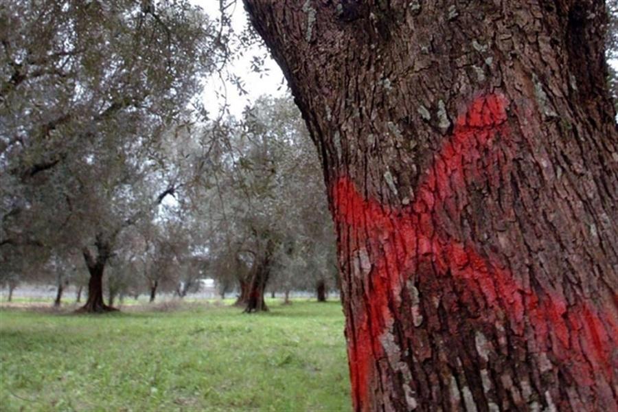 Dalla Regione un piano di finanziamento per la lotta alla Xylella