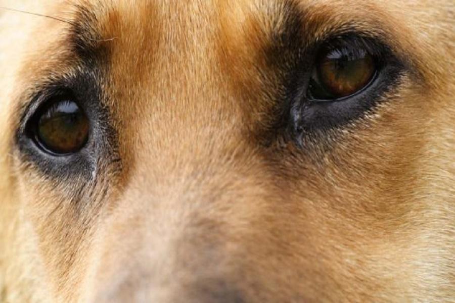 Muore 70 enne, il cane lo veglia per otto giorni