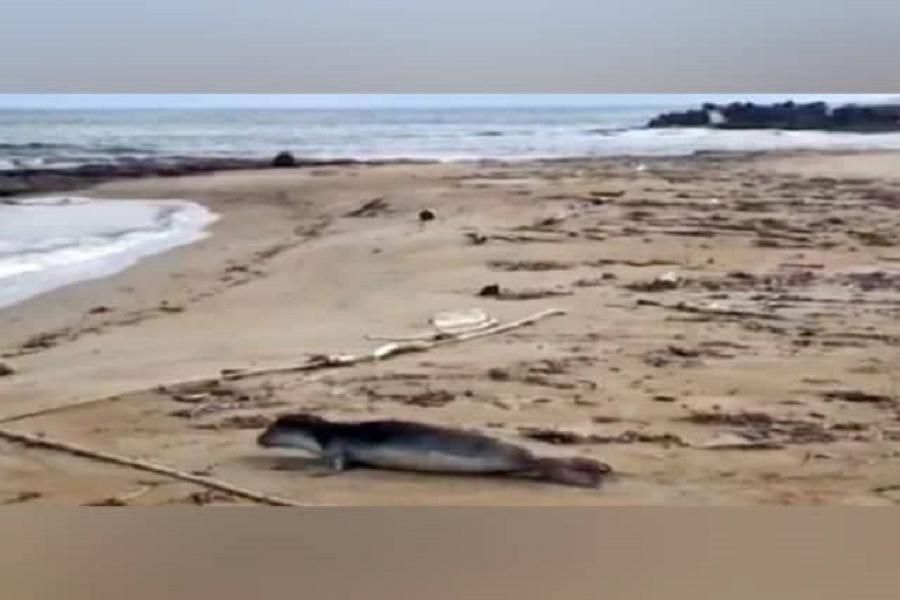 Puglia, morto il cucciolo di foca monaca