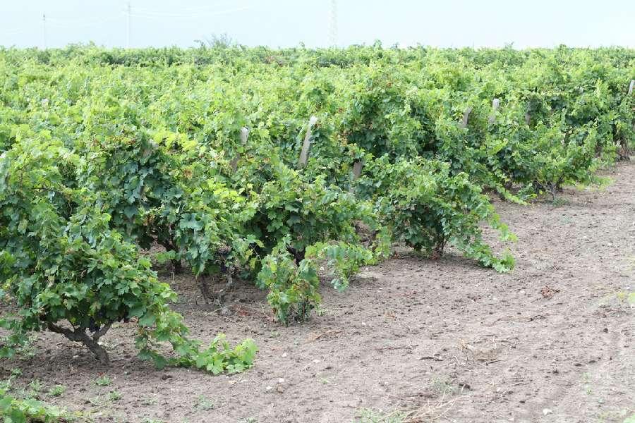 Difesa del Primitivo: Puglia compatta